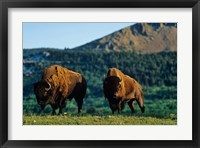 Framed Bison bulls, Waterton Lakes NP, Alberta Canada