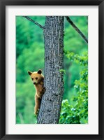 Framed Black bear, Waterton Lakes National Park, Alberta