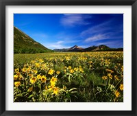 Framed Arrowleaf balsomroot covers the praire, Waterton Lakes National Park, Alberta, Canada