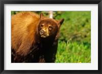 Framed Juvenile black bear, Waterton Lakes NP, Alberta, Canada