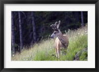 Framed Young deer in Banff National Park, Alberta, Canada
