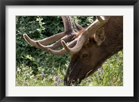Framed Portrait of Elk Feeding at Jasper National Park, Canada