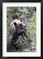 Framed Grizzly bear in Kootenay National Park, Canada