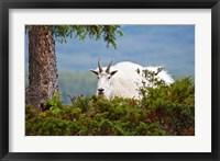 Framed Alberta, Jasper National Park, Mountain Goat wildlife