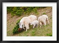 Framed Alberta, Jasper NP, Mountain Goat wildlife