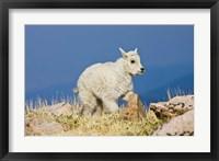 Framed Mountain Goat, Rocky Mountains, Colorado