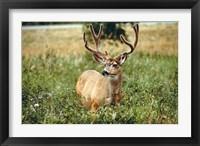 Framed Grazing mule deer buck, Waterton Lakes NP, Canada
