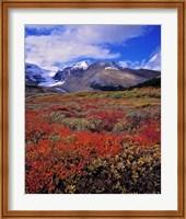 Framed Alberta, Columbia Icefields, Huckleberry meadows