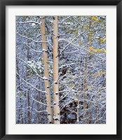 Framed Alberta, Peter Lougheed PP Aspen trees in snow