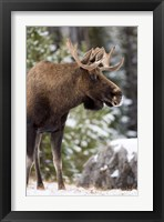 Framed Alberta, Jasper National Park Bull Moose wildlife