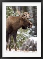 Framed Alberta, Jasper National Park Bull Moose wildlife