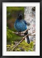 Framed Canada, Alberta, Waterton Lakes NP, Stellar's Jay
