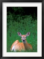 Framed Alberta, Waterton Lakes, Mule Deer wildlife