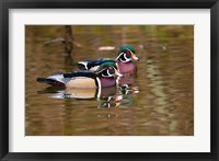 Framed Wood ducks, British Columbia, Canada