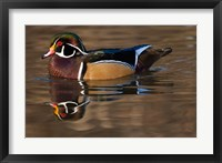 Framed Close up of Wood duck, British Columbia, Canada