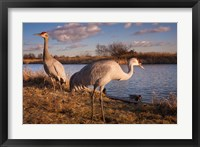 Framed Sandhill cranes, Migratory Bird Sanctuary, British Columbia, Canada