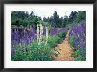 Framed Lupines by a Pond, Kitty Coleman Woodland Gardens, Comox Valley, Vancouver Island, British Columbia