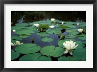 Framed White Water-Lily in Bloom, Kitty Coleman Woodland Gardens, Comox Valley, Vancouver Island, British Columbia