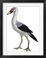 Framed Presbyornis, an Extinct Genus of Anseriform bird