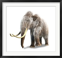 Framed Woolly Mammoth, White Background