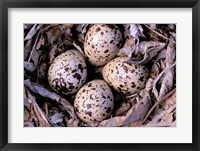 Framed Nightjar Nest and Eggs, Thaku River, British Columbia, Canada