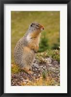 Framed British Columbia, Banff NP, Columbian ground squirrel
