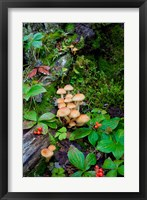 Framed British Columbia, Bowron Lakes Park Bunchberry, Forest