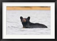Framed British Columbia, Bowron Lakes Park, Black bear
