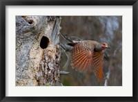 Framed British Columbia, Red-shafted Flicker bird