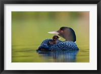 Framed British Columbia, Common Loons