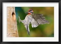 Framed British Columbia, Red-naped Sapsucker bird