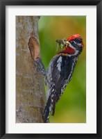 Framed Canada, British Columbia, Red-naped Sapsucker bird, nest