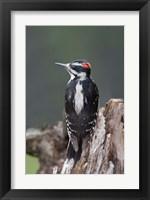 Framed British Columbia, Downy Woodpecker bird