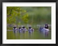 Framed British Columbia, Common Goldeneye, chicks, swimming