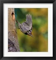 Framed British Columbia, Red-naped Sapsucker, flight, nest
