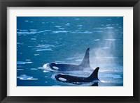 Framed Killer Whales feeding in Johnstone Strait, British Columbia, Canada