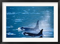 Framed Killer Whales feeding in Johnstone Strait, British Columbia, Canada