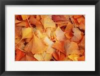Framed Ginkgo Fall