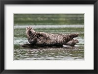 Framed Harbor seal, Great Bear Rainforest, British Columbia, Canada