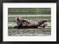 Framed Harbor seal, Great Bear Rainforest, British Columbia, Canada