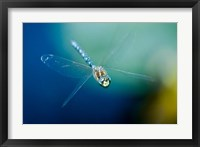 Framed Blue-eyed darner dragonfly, Insect, British Columbia