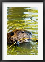 Framed Head of American Beaver, Stanley Park, British Columbia