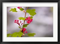 Framed Red-flowering currant, Vancouver, British Columbia