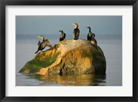 Framed Double-crested cormorant bird, British Columbia