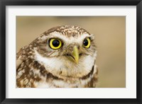 Framed Burrowing owl, Nicola Valley, British Columbia