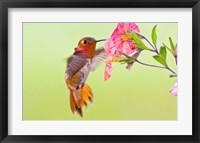 Framed Rufous Hummingbird feeding in a flower garden, British Columbia, Canada