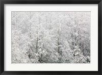 Framed Snow-covered trees, Stanley Park, British Columbia