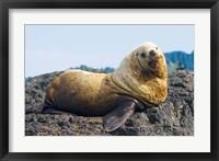 Framed Steller sea lion, Haida Gwaii, British Columbia