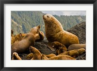 Framed Steller sea lion, Queen Charlottes, British Columbia