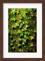 Framed Red cedar English ivy, Stanley Park, British Columbia
